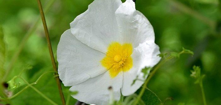 Plantas Silvestres: Sargaço-manso / Cistus salviifolius L.