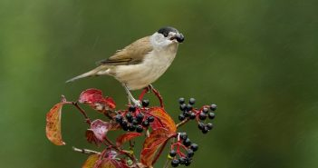 Estudo conclui que aves migradoras podem não conseguir ajudar as plantas a fugir das alterações climáticas